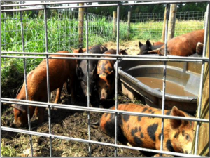 Pigs Edited