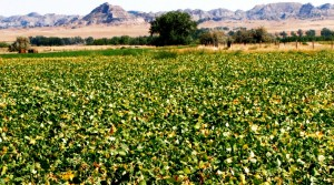 organic beanfield